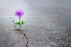 fiore viola cresce tra l'asfalto